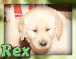 Rex Male Golden Retriever