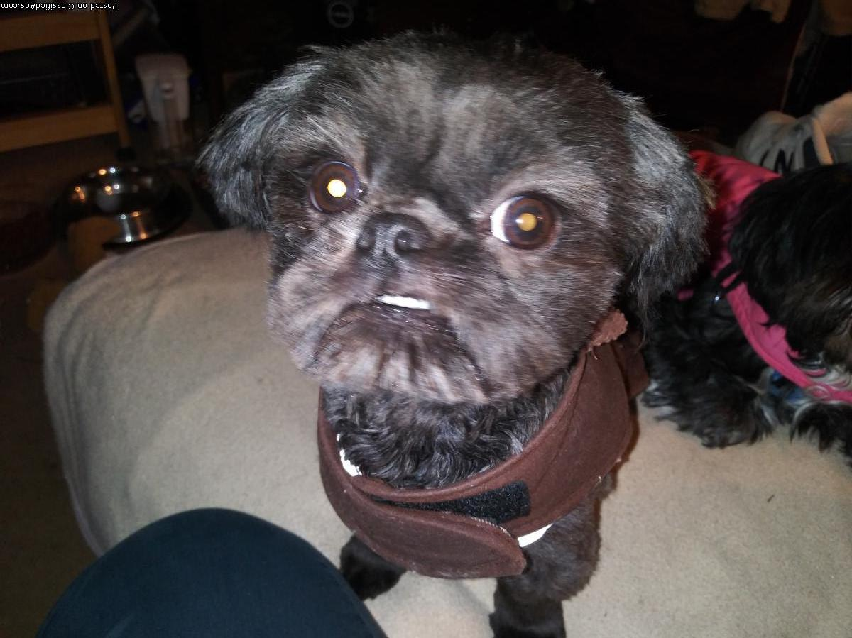 Shih Tzu puppy Teddy Bear