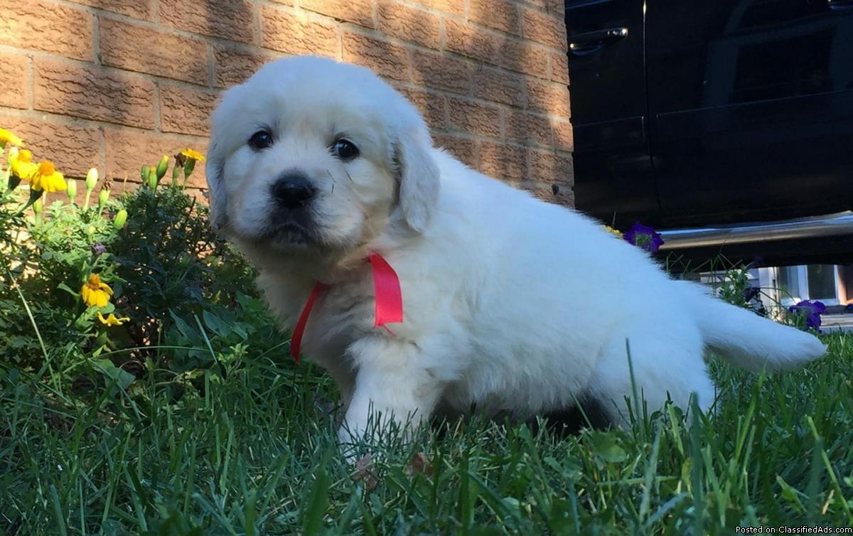 AKC English Cream Golden Retrievers
