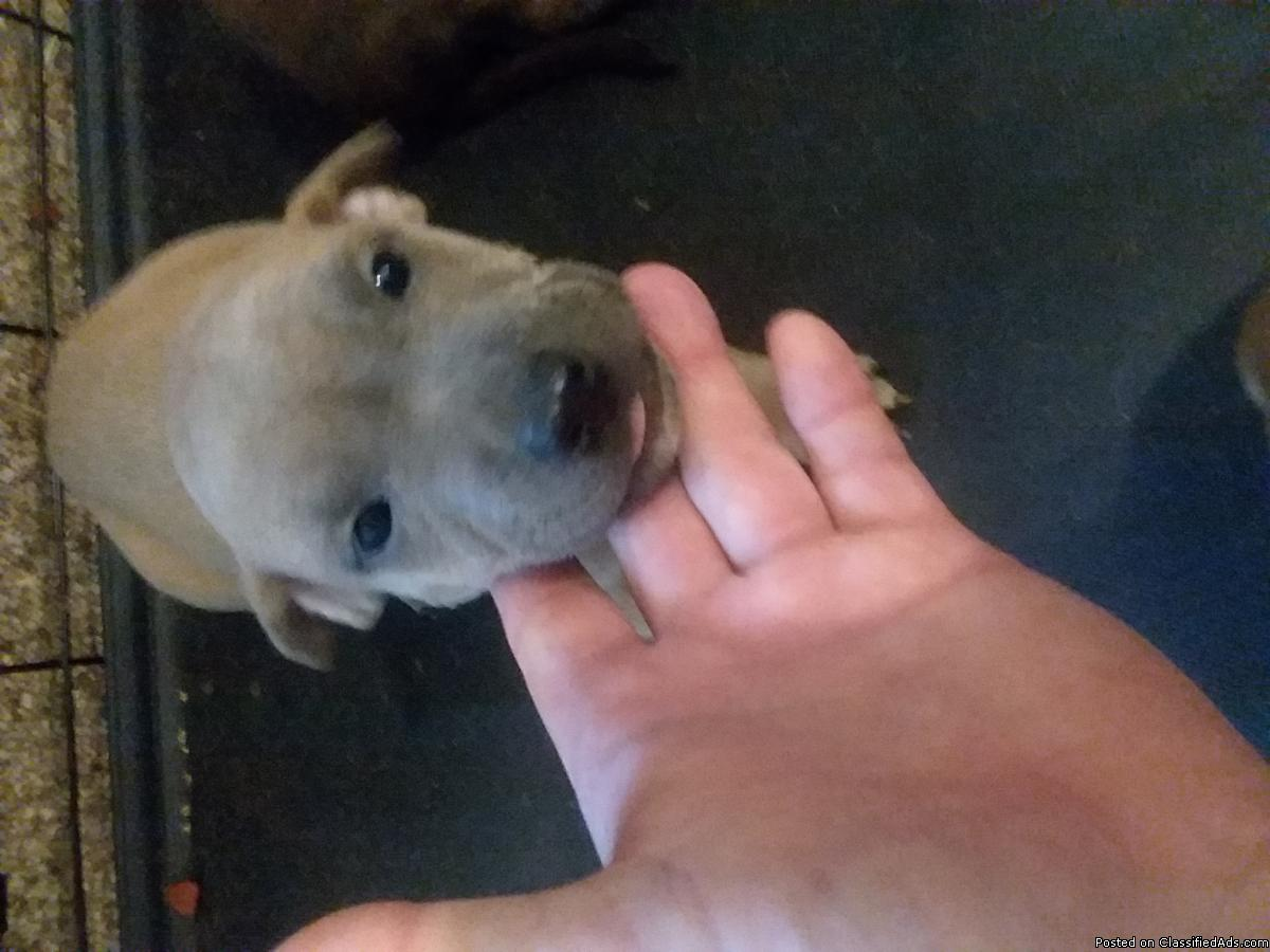 Full blooded American blue pit puppies for sale