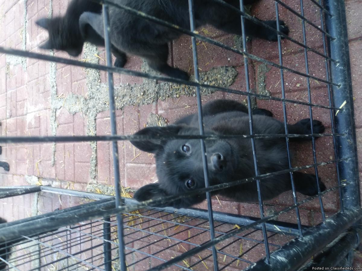 Phenomenal pedigree Working K9 German Shepherd Puppies