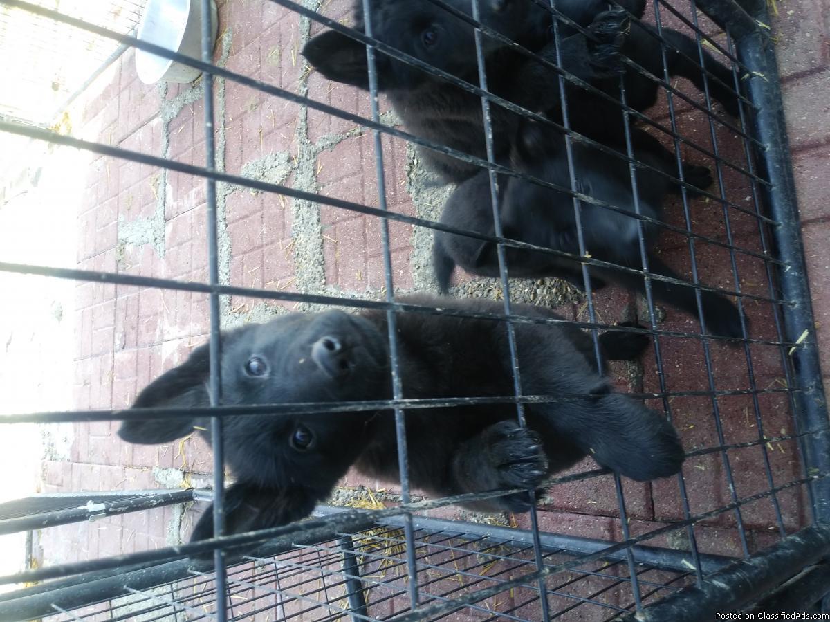 Working K9 German Shepherd Puppies. Phenomenal pedigree
