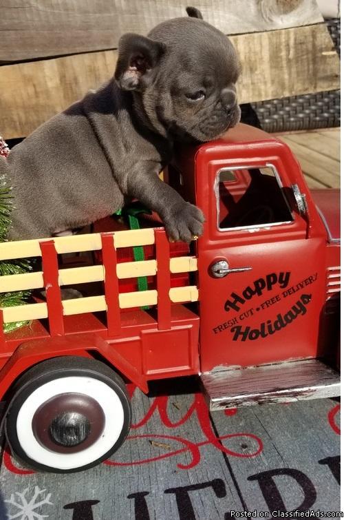 Max French Bulldog Pups Ready Now