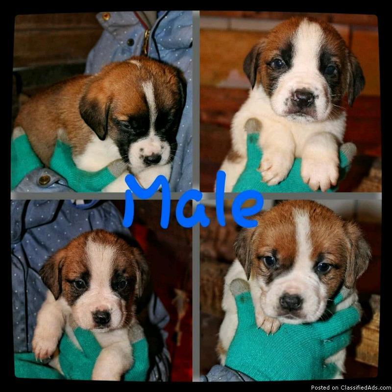 St. Bernard cross puppies, for sale!