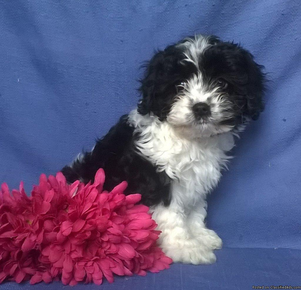 Princess Female Cavapoo