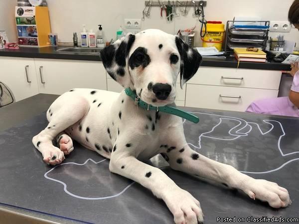 Super Sweet Female Dalmatian puppy Dalmatian you will LOVE