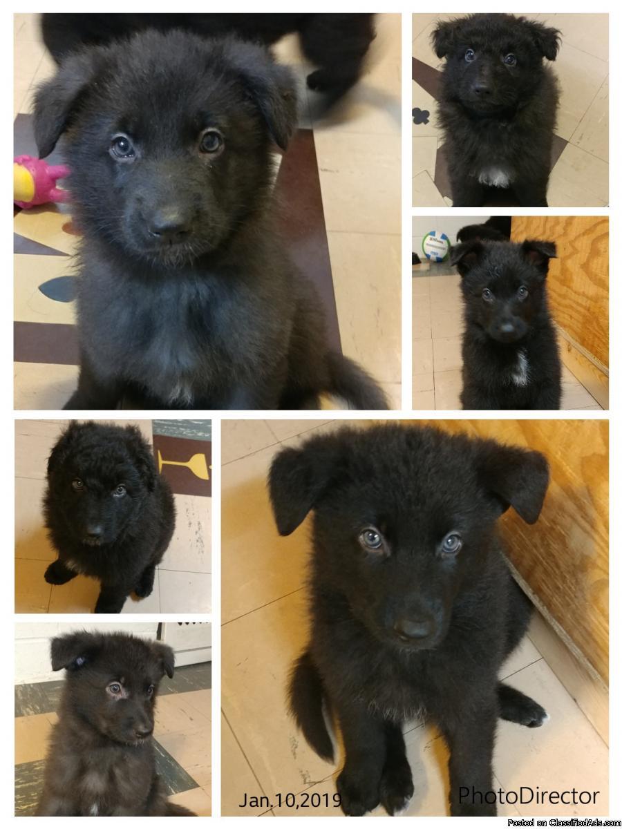 Black German Shepard puppies
