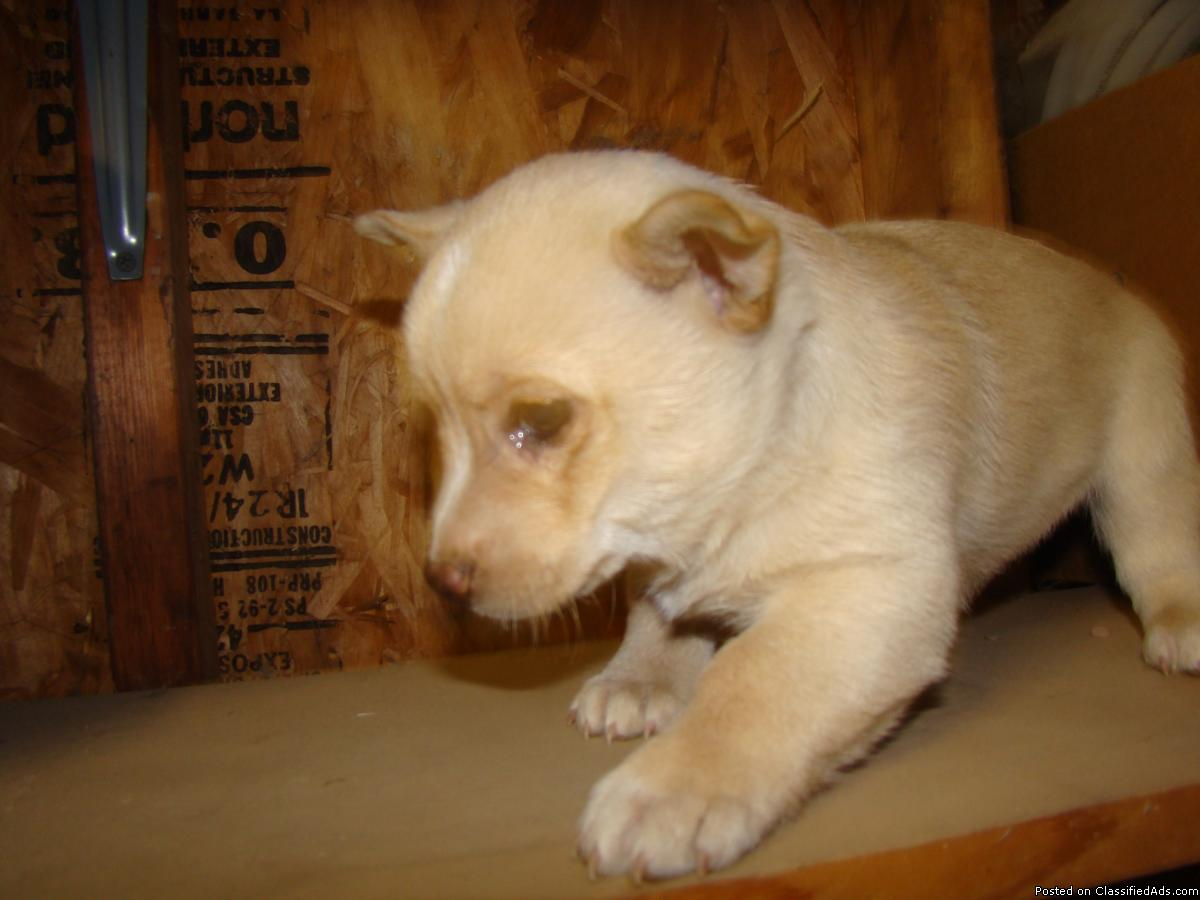 Jack Russell Terrier and Terrier mix Puppies