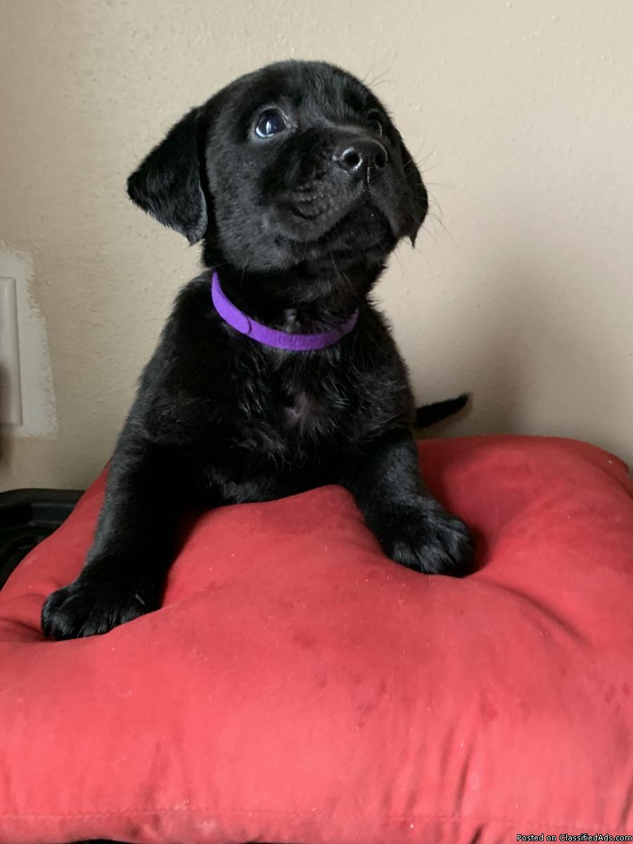 AKC registered labrador pups