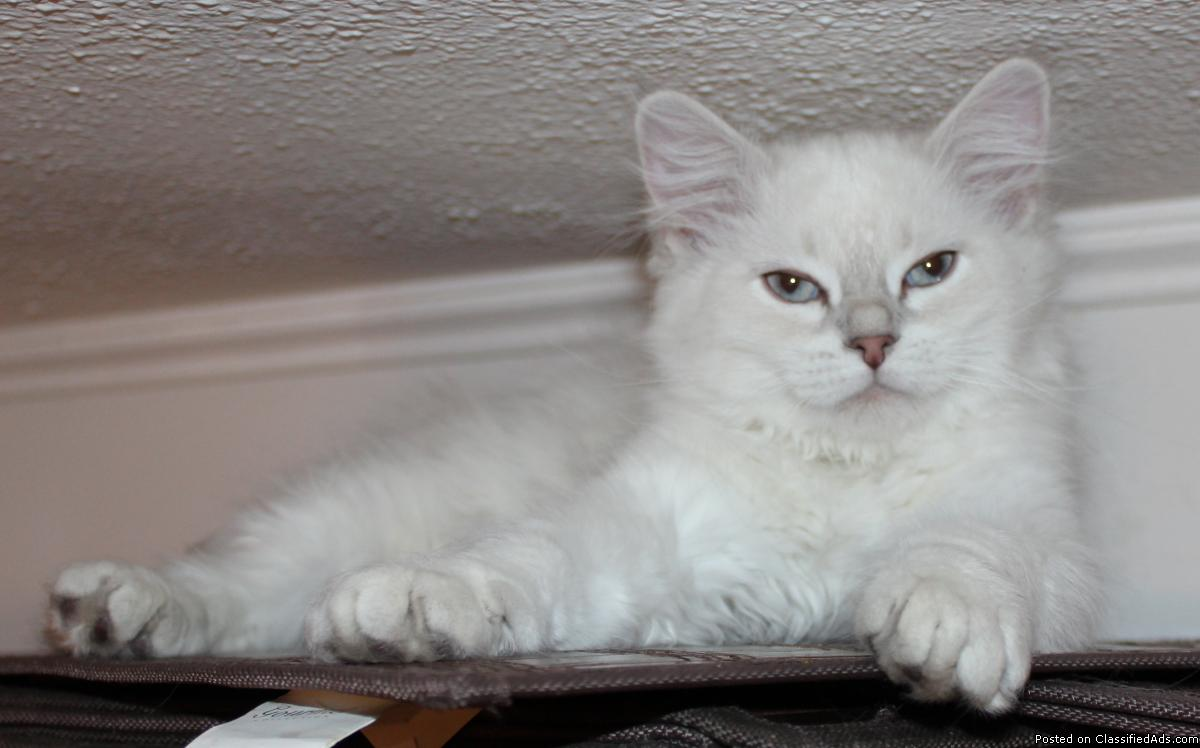 Beautiful Purebred Siberian Female kitten