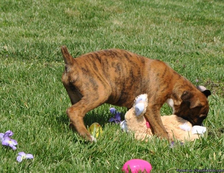 Beautiful boxer,lab pharaoh hound mix for sale