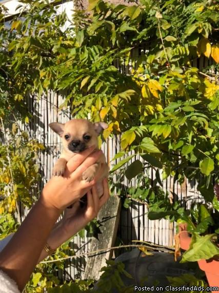 Male and Female Teacup Chihuahua Puppies