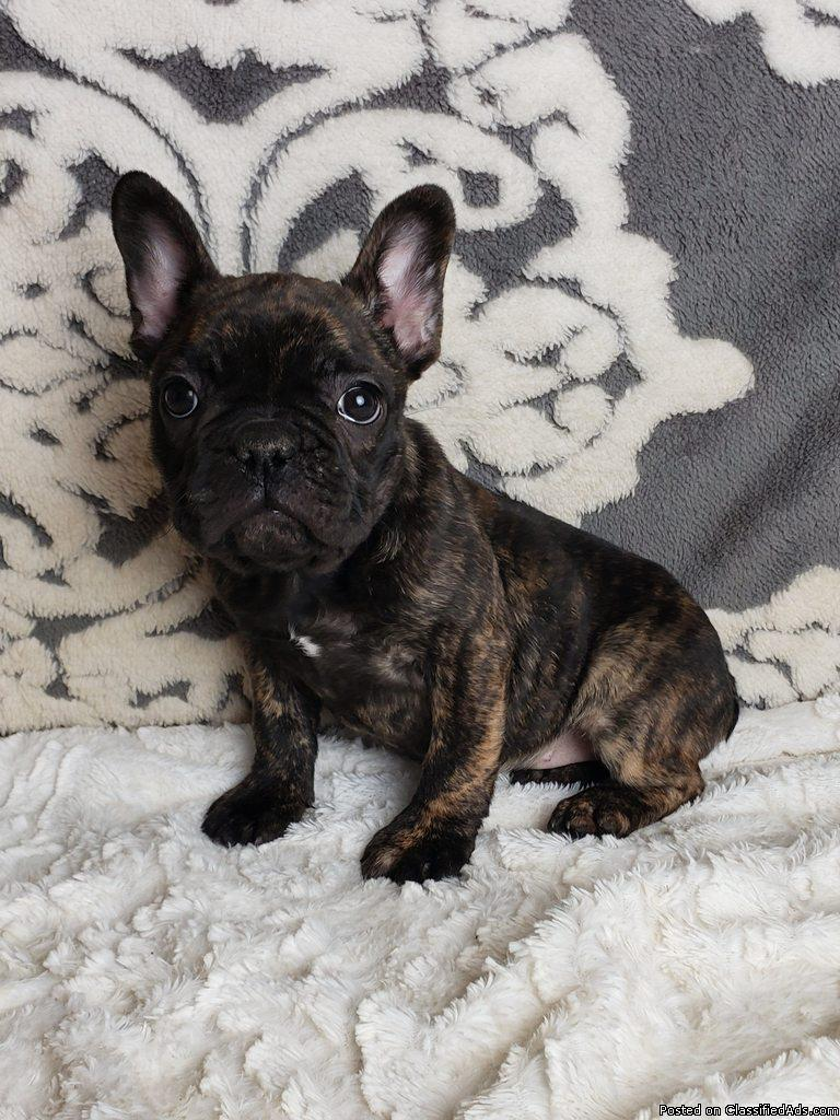 Lily Female Frenchton Puppy
