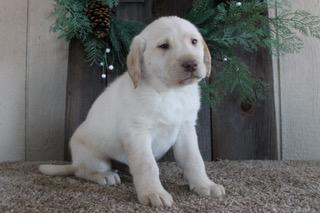 Rambo Male Labrador Retriever
