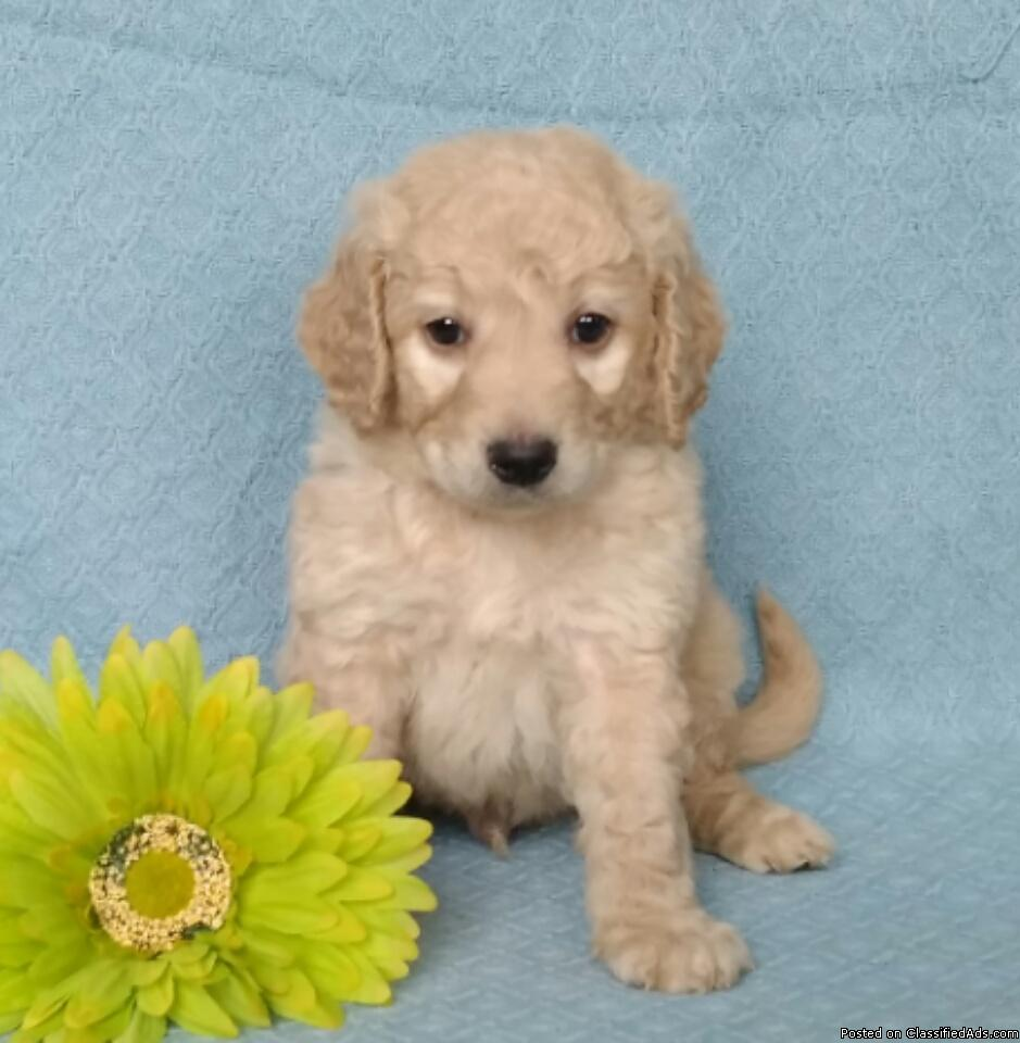 Teddy Bear Male Mini Labradoodle