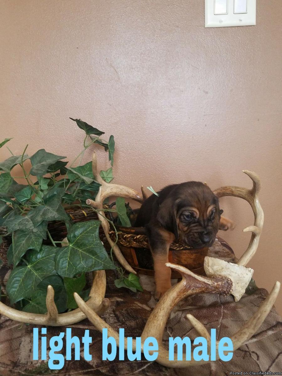 Akc registered bloodhound puppys.