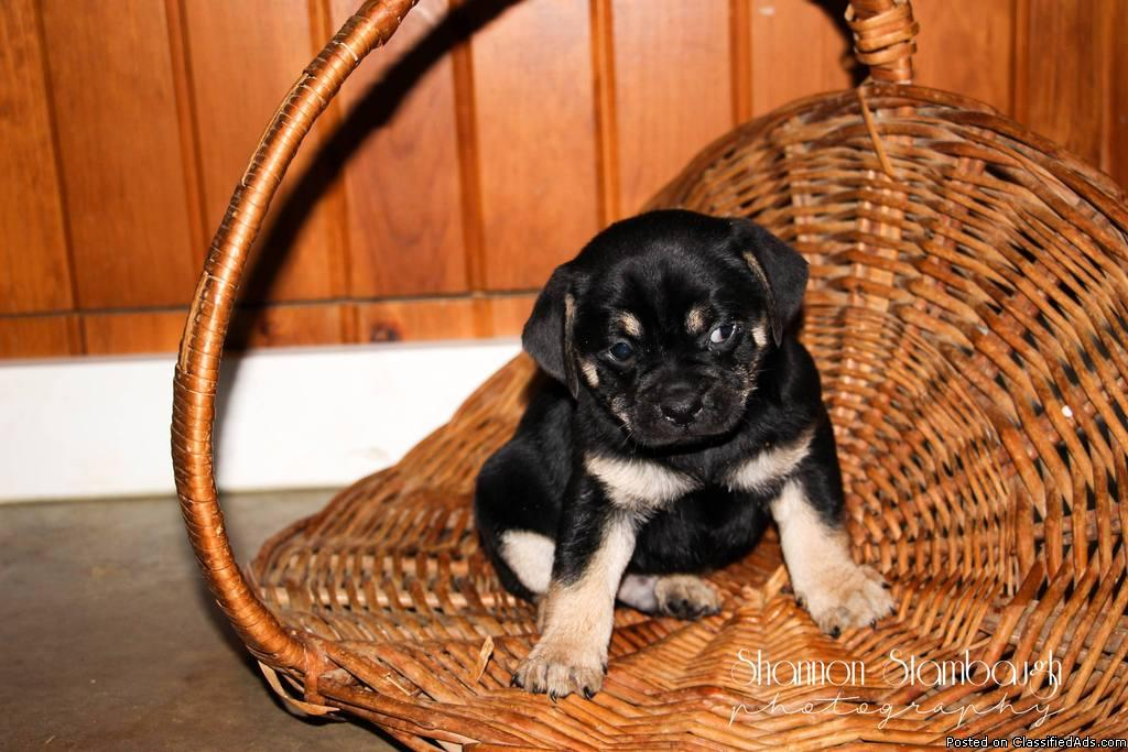 Teddy Male Pug Mix