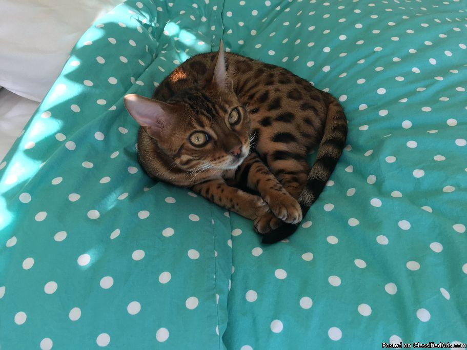 Beautiful Purebred Bengal Cat for sale