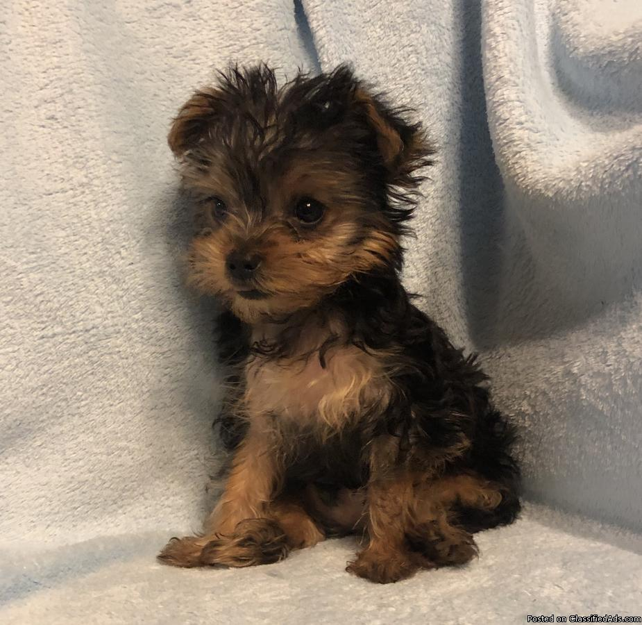 Yorkshire Terrier Males and females