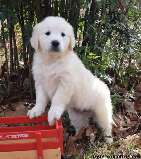 GBF Golden retriever puppies