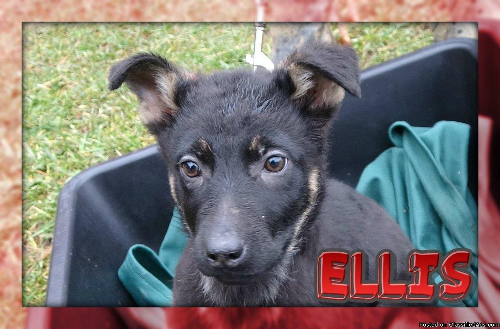 Ellis Female German Shepherd