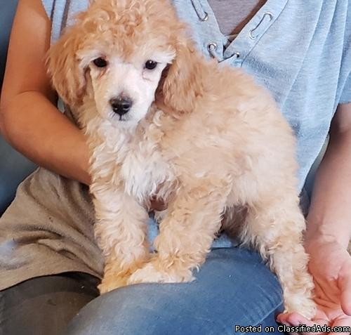 Beautiful Miniature Poodle Puppies for Sale