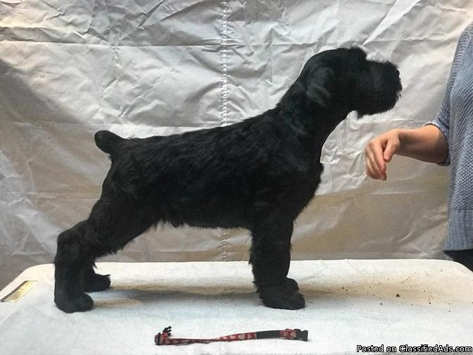 beautifull male and female Giant schnauzer pups