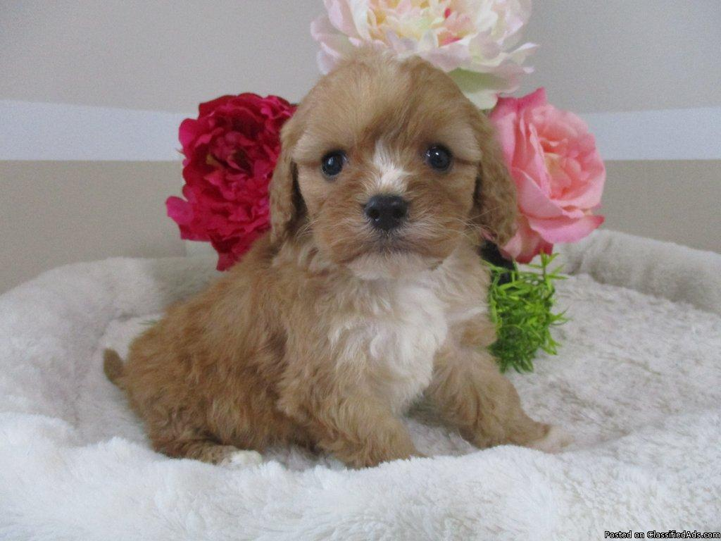 Jake Male Cavapoo