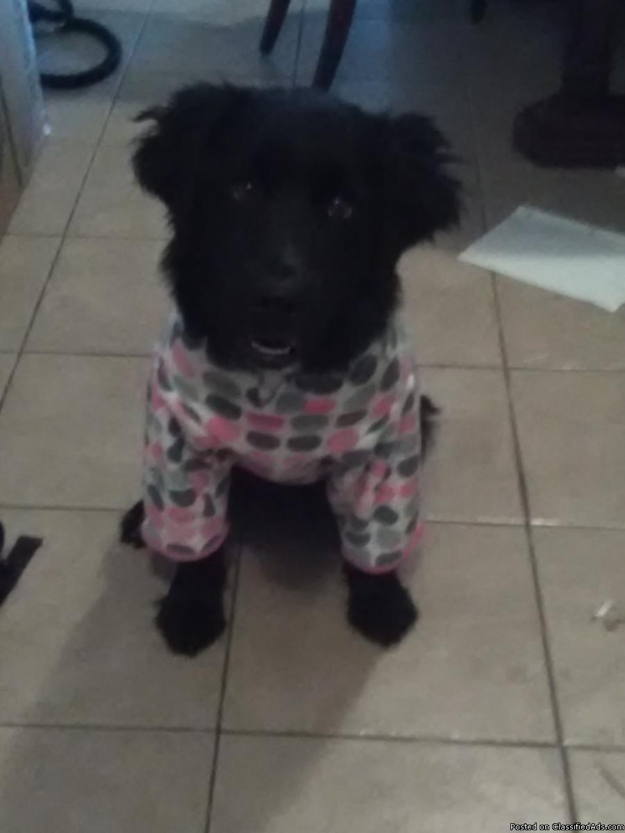 7 month old female border collie, lab mix