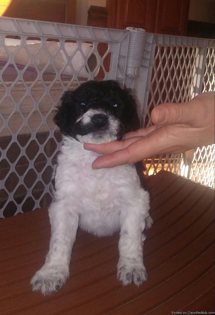Adorable Aussiedoodle puppies for sale