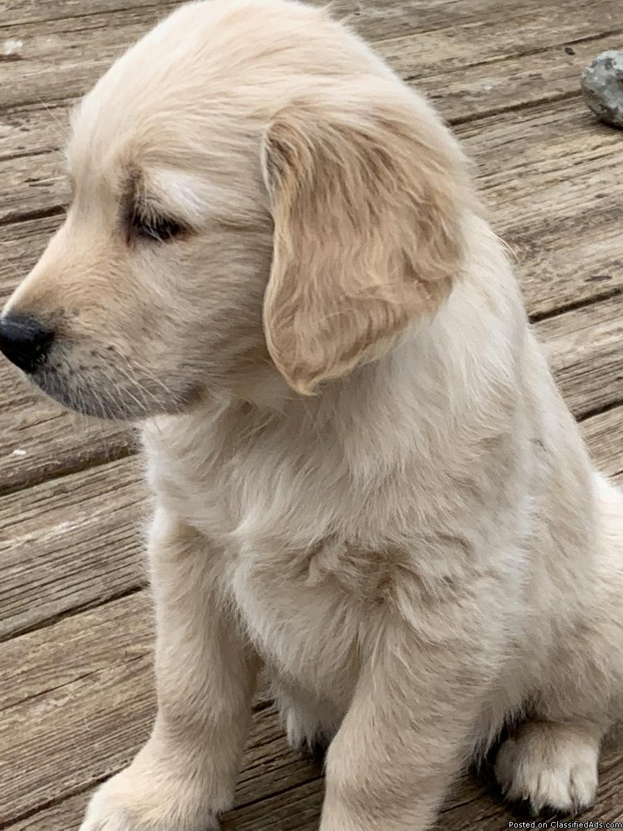English Cream/Golden Retriever Puppies