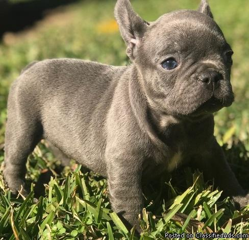 Beautiful male and female French Bulldog