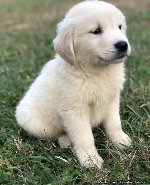 Male and female Golden Retriever Pups klhjk