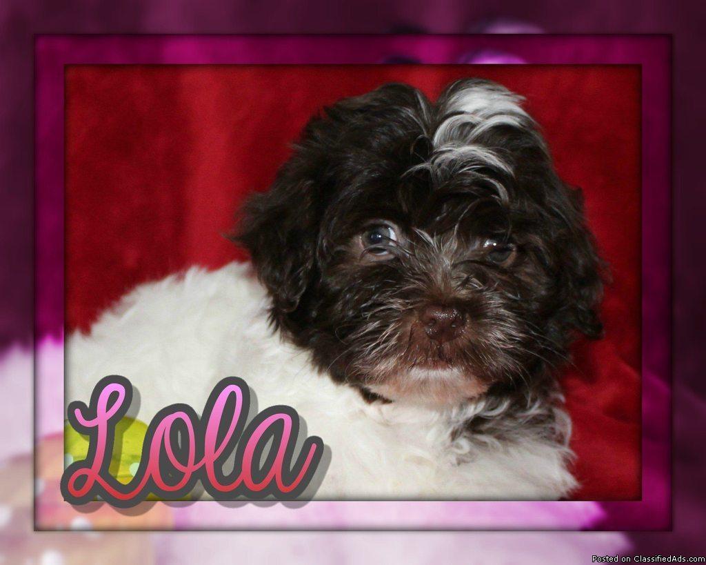 Lola Female AKC Havanese