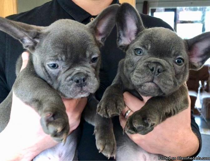 Quality Blue M/F French bulldog pups