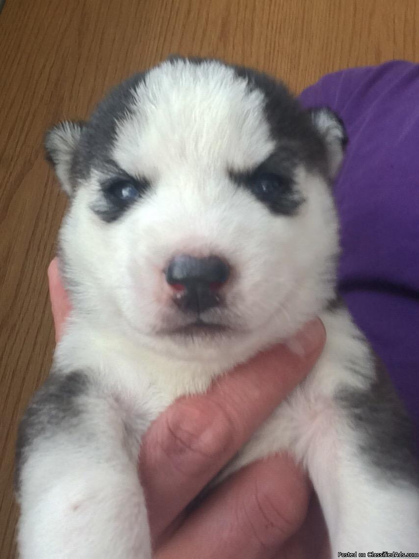 Siberian Husky Puppies for sale, Ready April 1st