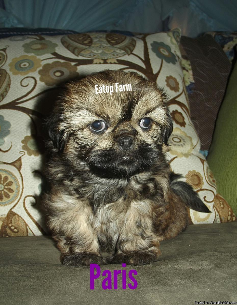 Adorable AKC Shih Tzu Puppies