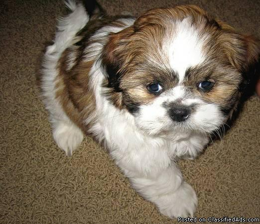lovely and home raise SHIH TZU puppies for adoption