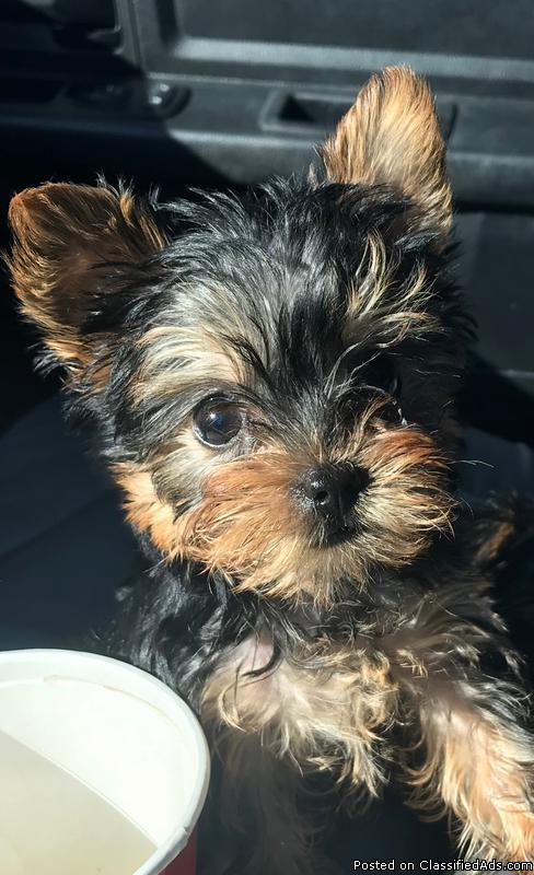 5 Pure Breed 100% Parti Color Toy Yorkies puppies adorable