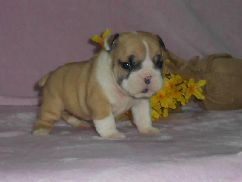Bella Female Mini Bulldog