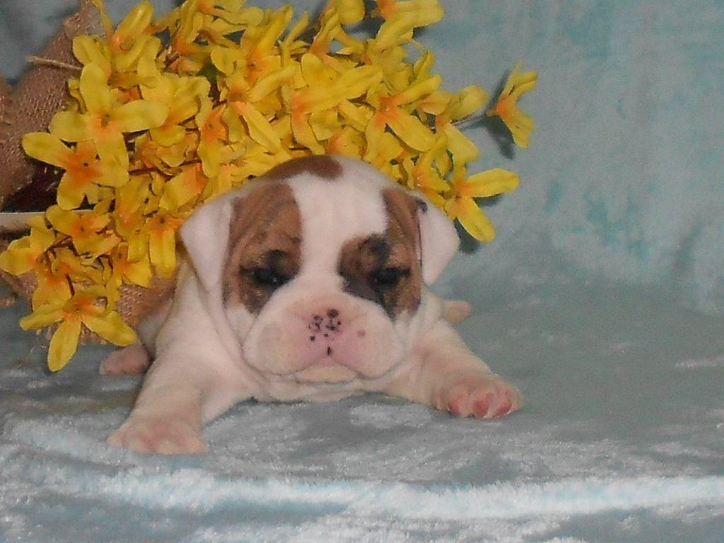 Bingo Male Mini Bulldog