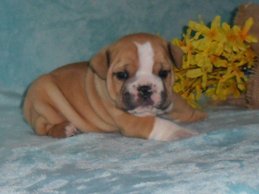Brody Male Mini Bulldog