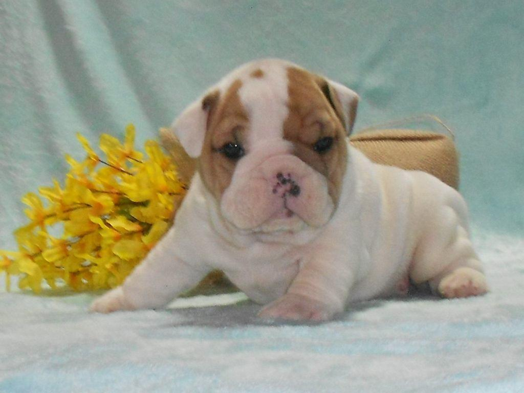 Bruno Male Mini Bulldog