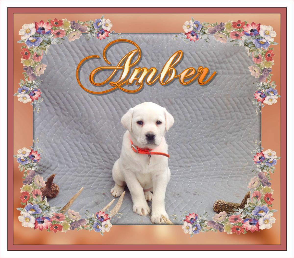 Amber AKC Female White light Yellow Labrador $699. New Price