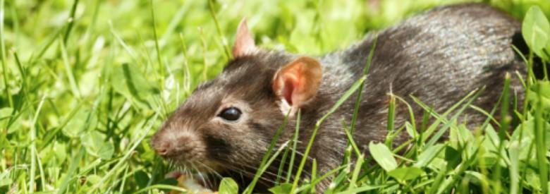 Rat Control Services in Burnaby & Vancouver | Advancepest.ca