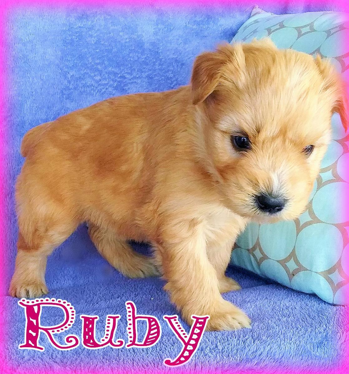 Ruby Female AKC Wheaten Terrier $ New Price
