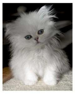 CFA Reg DOll Face & Teacup Persian kittens