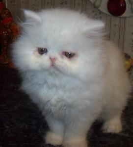 Cuties Healthy Persian Kittens For New Homes