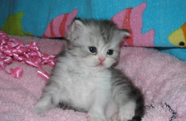 Male Persian Kitten