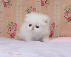 Persian Kittens For Adoption.